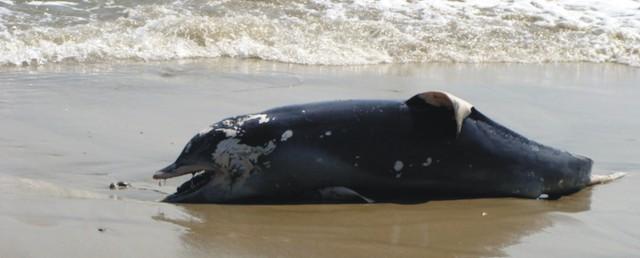 muerte de delfines costa atlantica tit indagadores wp